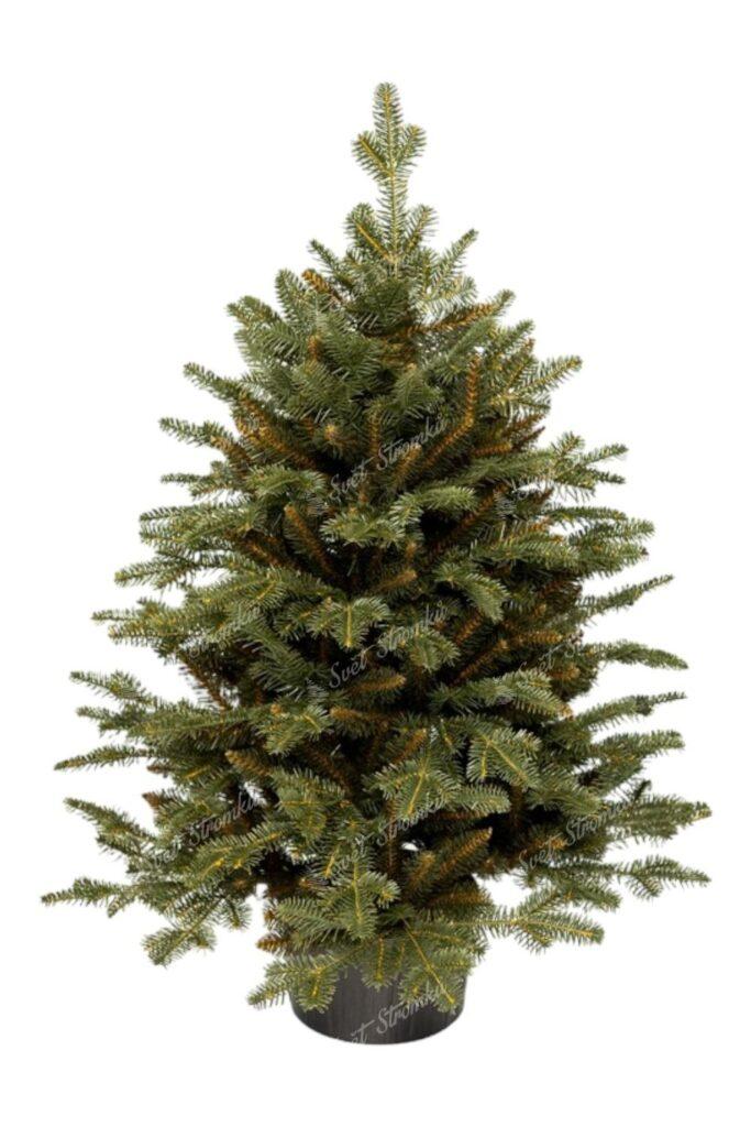 Malý vánoční stromek v květináči Jedle. Stromek je osazen v pěkném květináči.